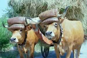 Portugal_oxen_cart