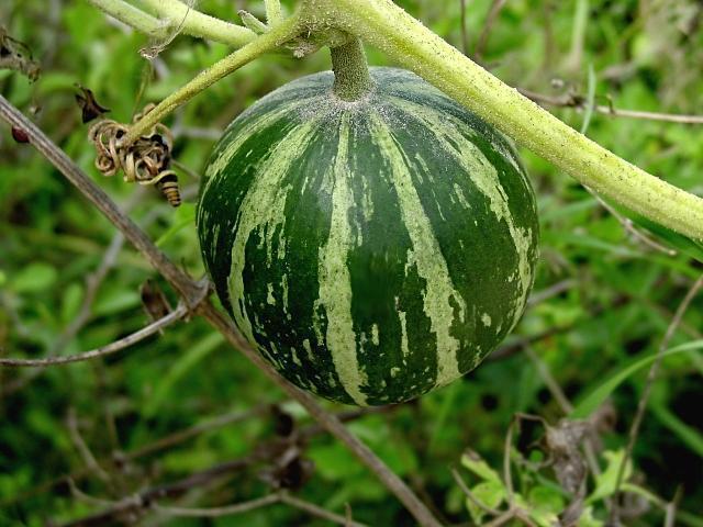 wild gourd