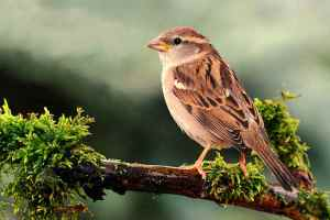 House Sparrow female 2.