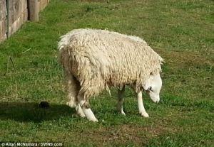 cast sheep 2