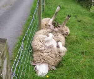 cast sheep