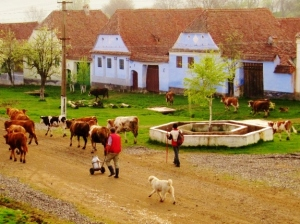 cows in Romania