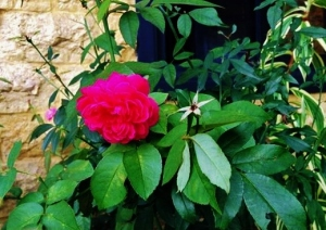 Rose by my window