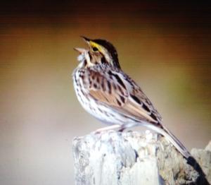 bird singing
