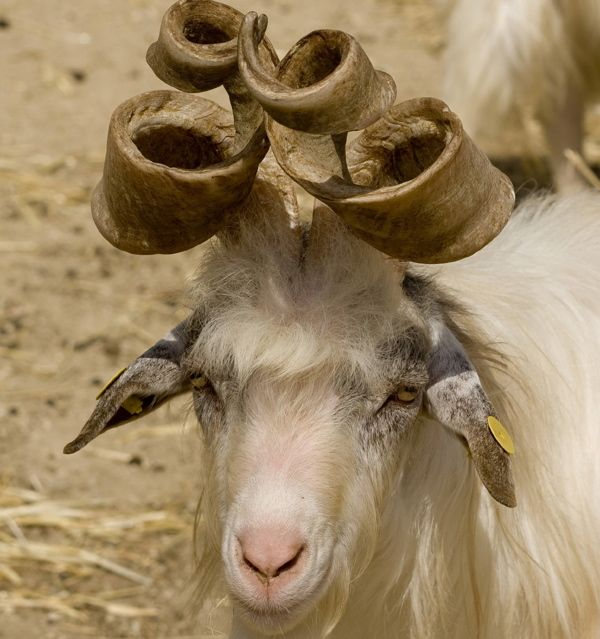 Beatiful goat