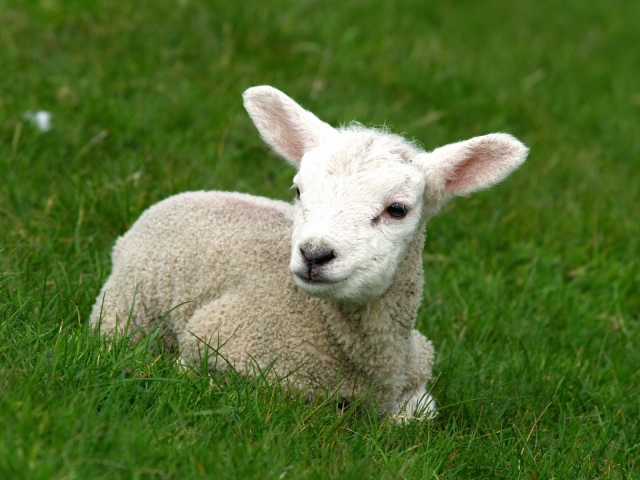 Sheep-1-1