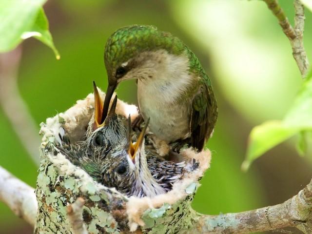 Bird feeding her chicks