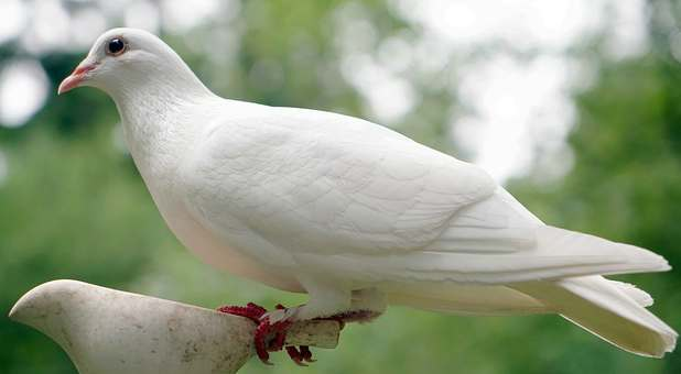 dove-white-perched
