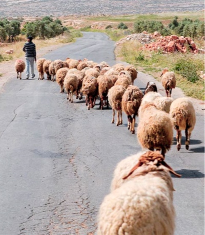 Following Shepherd