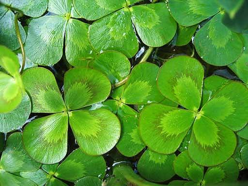 Nardoo plant