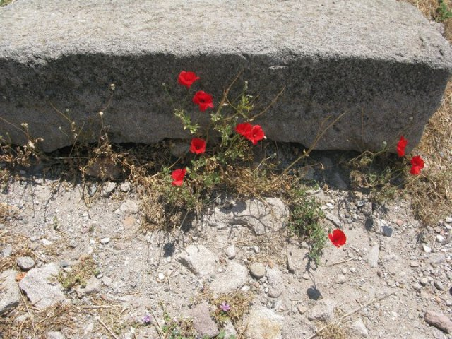 Poopy flowers